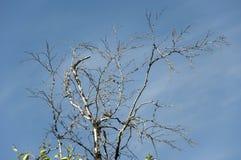 Ramo della betulla con le foglie e senza sui precedenti con cielo blu Opposti di contrasto di estate fotografia stock