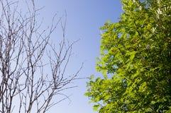 Ramo della betulla con le foglie e senza sui precedenti con cielo blu Opposti di contrasto di estate fotografia stock libera da diritti