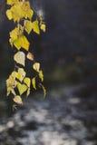 Ramo della betulla con le foglie gialle Immagini Stock