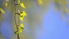 Ramo della betulla con le giovani foglie verdi video d archivio