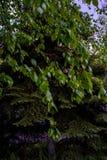 Ramo della betulla ed albero di abete sui precedenti in primavera immagini stock libere da diritti