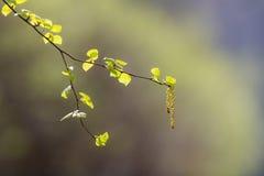Ramo della betulla nella priorità alta Fotografia Stock Libera da Diritti