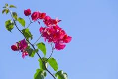 Ramo della buganvillea di fioritura isolato su un fondo blu Cespuglio di fioritura rosa sui precedenti del cielo Fotografia Stock Libera da Diritti