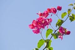 Ramo della buganvillea di fioritura isolato su un fondo blu Cespuglio di fioritura rosa sui precedenti del cielo Fotografia Stock