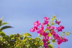Ramo della buganvillea di fioritura isolato su un fondo blu Cespuglio di fioritura rosa sui precedenti del cielo Fotografie Stock