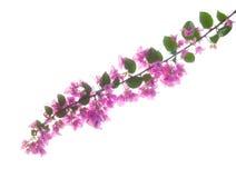 Ramo della buganvillea rosa Fotografie Stock