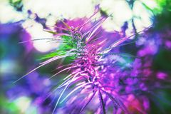 Ramo della cannabis e della marijuana Ganja, bello albero della canapa immagini stock libere da diritti