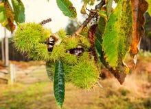 Ramo della castagna con frutta matura Fotografia Stock Libera da Diritti