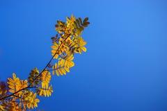 ramo della cenere di montagna fotografia stock