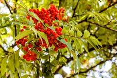 Ramo della cenere di montagna rossa sulla betulla con le foglie Fotografie Stock