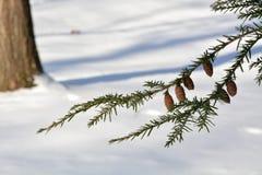 Ramo della cicuta con i coni e la neve Fotografie Stock Libere da Diritti