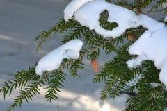 Ramo della cicuta con i coni e la neve Fotografia Stock Libera da Diritti