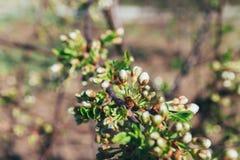 Ramo della ciliegia con i fiori bianchi che fioriscono in molla in anticipo nel giardino ramo con i fiori, molla in anticipo dell Fotografia Stock
