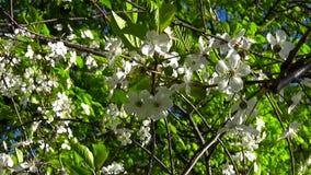 Ramo della ciliegia del cielo dell'albero del fiore che fiorisce sul vento video d archivio