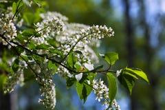 Ramo della ciliegia di uccello in primavera Fotografia Stock