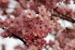 Ramo della ciliegia giapponese Fotografie Stock