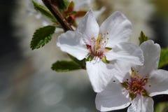 Ramo della ciliegia sbocciante Fotografia Stock