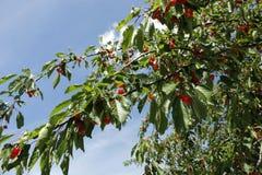 Ramo della ciliegia su cielo blu Immagine Stock