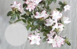 Ramo della fioritura della primavera con i fiori rosa Forma grafica del cerchio del distintivo Fotografie Stock Libere da Diritti