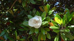 Ramo della magnolia che oscilla nel vento con un grande fiore video d archivio