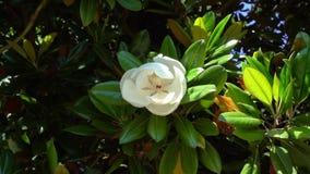 Ramo della magnolia che oscilla nel vento con un grande fiore stock footage