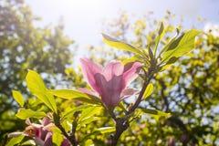 Ramo della magnolia con il fiore rosa Immagine Stock Libera da Diritti