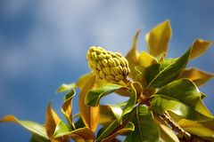 Ramo della magnolia contro cielo blu Fotografia Stock Libera da Diritti