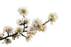 Ramo della mandorla su fioritura Fotografia Stock
