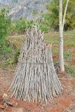 Ramo della manioca Fotografia Stock Libera da Diritti