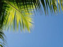 Ramo della palma con cielo blu Fotografia Stock