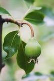 Ramo della pera con piccola frutta verde cruda, foglie verdi Scena del frutteto Concetto dell'alimento degli agricoltori fuoco mo Fotografia Stock Libera da Diritti