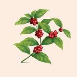 Ramo della pianta del caffè con le bacche Fotografia Stock Libera da Diritti