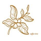 Ramo della pianta del caffè con le foglie ed i chicchi di caffè naturali Disegno botanico di contorno Simbolo Vettore Fotografie Stock