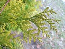 Ramo della pianta del supporto conico Fotografia Stock Libera da Diritti