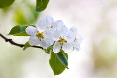 Ramo della primavera Fotografia Stock