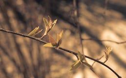 Ramo della primavera con i germogli gonfiati I primi piccoli fogli Fotografia Stock