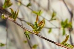 Ramo della primavera con i germogli gonfiati I primi piccoli fogli Immagine Stock Libera da Diritti