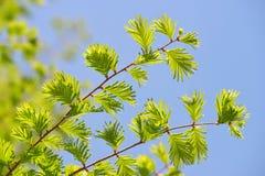 Ramo della primavera con le foglie verdi dei glyptostroboides Dawn Redwood di Metasequoia immagine stock libera da diritti