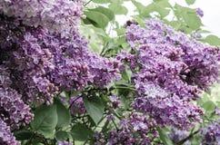 Ramo della primavera del lillà sbocciante Fotografie Stock Libere da Diritti