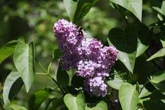 Ramo della primavera del lill? e del cielo blu sboccianti con le nuvole Siringa Fiori lilla fotografia stock libera da diritti
