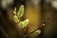 Ramo della primavera del salice lanuginoso con i germogli e la piccola ape che si siedono su uno Immagine Stock Libera da Diritti