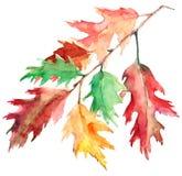 Ramo della quercia, acquerello Fotografie Stock