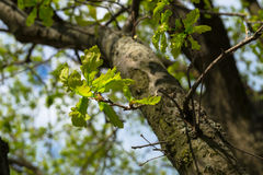 Ramo della quercia antica con fogliame fresco in primavera Fotografia Stock