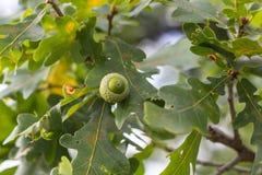 Ramo della quercia con le foglie verdi e le ghiande un giorno soleggiato Quercia di estate fondo vago della foglia Fotografie Stock Libere da Diritti