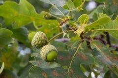Ramo della quercia con le foglie verdi e le ghiande un giorno soleggiato Quercia di estate fondo vago della foglia Immagini Stock Libere da Diritti