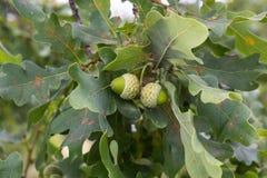 Ramo della quercia con le foglie verdi e le ghiande un giorno soleggiato Quercia di estate fondo vago della foglia Immagine Stock