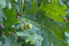 Ramo della quercia con le foglie verdi e le ghiande un giorno soleggiato Quercia di estate fondo vago della foglia Fotografia Stock