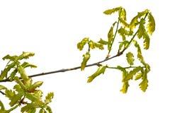 Ramo della quercia isolato Fotografie Stock