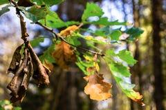 Ramo della quercia nella foresta di autunno Immagine Stock