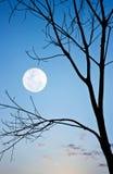 Ramo della siluetta dell'albero con la luna Immagine Stock